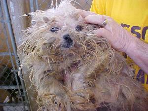Rescue Dogs Labradoodle