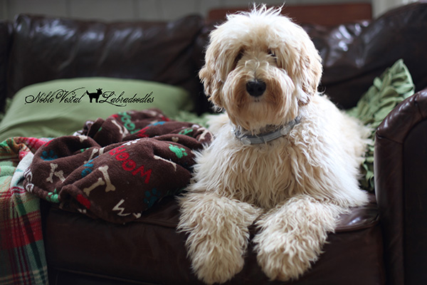 Wheatie-Labradoodle